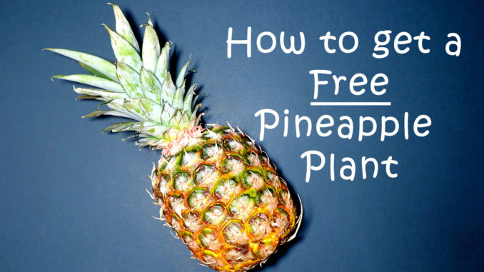 How-to-get-a-Free-Pineapple-Plant.png